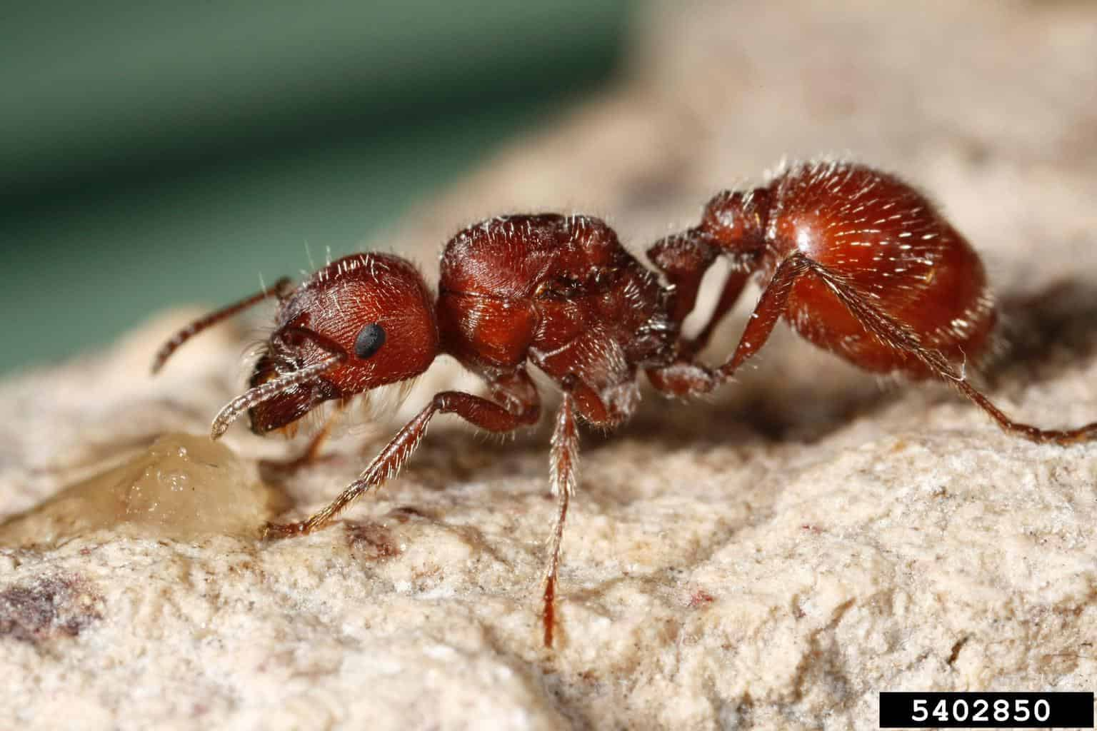 Part I Delve Into The Life Of The Red Harvester Ant Arizona Raft Adventures