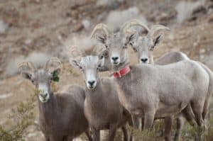 grand canyon bighorn sheep