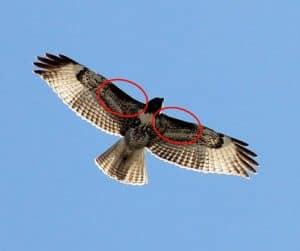Grand Canyon Birding