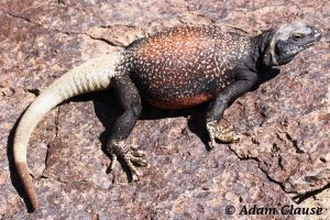 Chuckwallas in Grand Canyon
